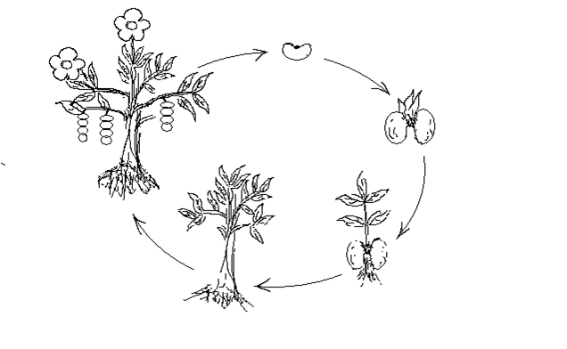 Kết quả hình ảnh cho sơ đồ phát triển của cây đậu